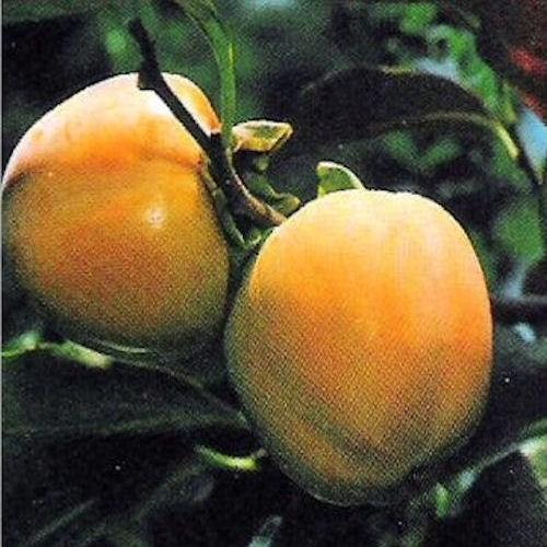 Plaqueminier kaki ou diospyros kaki question 265 - Comment s appelle l arbre du kaki ...