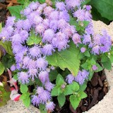 AGERATE ou AGERATUM HOUSTONIANUM - QUESTIONS 1 A 100