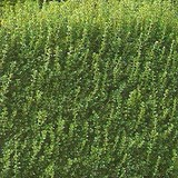 BUIS - BUXUS SEMPERVIRENS - QUESTION 634
