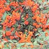 BUISSON ARDENT - PYRACANTHA - QUESTION 712