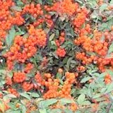 BUISSON ARDENT - PYRACANTHA - QUESTION 943