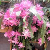 CACTUS ORCHIDEE - EPIPHYLLUM - QUESTION 745
