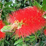 CALLISTEMON - QUESTION 706