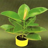 CAOUTCHOUC - FICUS ELASTICA - QUESTION 18
