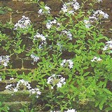 PLUMBAGO DU CAP - PLUMBAGO CAPENSIS - QUESTION 768