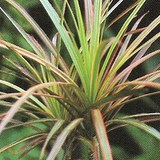 DRAGONNIER - DRACAENA MARGINATA - QUESTION 728