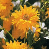 HELIOPSIS ou HELIOPSIS HELIANTHOIDES - QUESTIONS 701 A 800