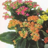 KALANCHOE - QUESTION 668