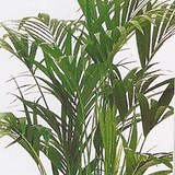 KENTIA - HOWEA FORSERIANA - QUESTION 765