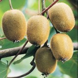 KIWI - ACTINIDIA CHINENSIS ou DELICIOSA - QUESTION 731