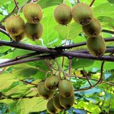 KIWI - ACTINIDIA CHINENSIS ou DELICIOSA - QUESTION 955