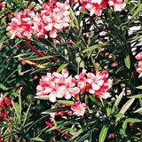 LAURIER-ROSE - NERIUM OLEANDER - QUESTION 788