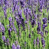 LAVANDE OFFICINALE - LAVANDULA OFFICINALIS - QUESTION 748