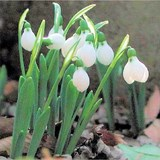 PERCE-NEIGE - GALANTHUS NIVALIS - QUESTION 729