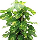 POTHOS - SCINDAPSUS AUREUS - QUESTION 727