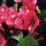 WEIGELA ou WEIGELIA - QUESTION 1000