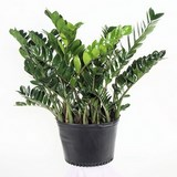 PLANTE ZZ - ZAMIOCULCAS ZAMIFOLIA - QUESTION 781