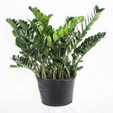 ZAMIOCULCAS - ZAMIOCULCAS ZAMIFOLIA - QUESTION 781